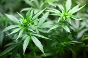 Classifying Cannabis Strains Room For Improvement